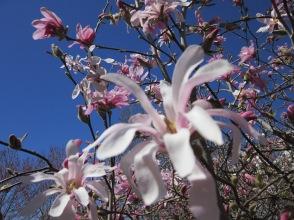 Magnolia_01
