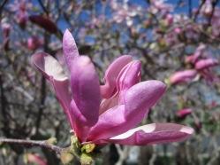 Magnolia_02
